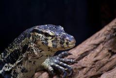 Niloticus do Varanus Fotos de Stock