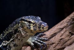 Niloticus van Varanus Stock Foto's