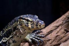 Niloticus van Varanus Royalty-vrije Stock Foto