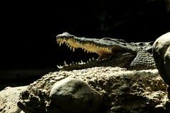 Niloticusen för Nilenkrokodilcrocodylusen är en afrikansk krokodil, den största sötvattens- rovdjuret i Afrika, Baselzoo som är a royaltyfri fotografi