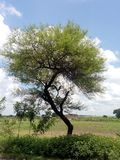 Nilotoca ακακιών στοκ φωτογραφίες με δικαίωμα ελεύθερης χρήσης