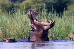 Nilpferd Immagini Stock