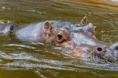 Nilpferd amphibius Stockbild