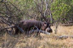 Nilpferd, das auf Land lauert Stockbild