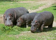 Nilpferd, großes größtenteils erbivorous semiacquatic Säugetier lizenzfreie stockfotos