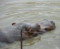 Nilpferd im Wasser Lizenzfreies Stockfoto