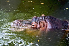 Nilpferd im Wasser Lizenzfreie Stockfotografie