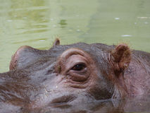 Nilpferd im Wasser Stockbild