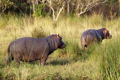 Nilpferd mit zwei Jungen Stockfotografie