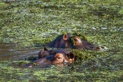 Nilpferd in Nationalpark Kruger Lizenzfreie Stockfotos