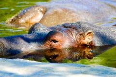 Nilpferd neugierig Stockbild