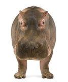 Nilpferd, Nilpferd amphibius, die Kamera gegenüberstellend lizenzfreies stockbild