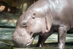 Nilpferd oder Flusspferd beim Suchen nach Nahrung stockbild