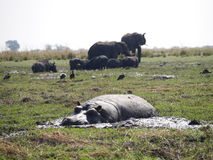 Nilpferd und Elefant in Nationalpark Chobe stockfoto