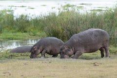 Nilpferde, die auf Wiese weiden lassen Stockfotografie