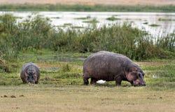 Nilpferde, die am Rand des Sumpfs weiden lassen Stockbild
