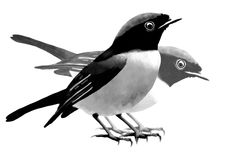 Niltava birds on white. Couple small niltava on white background Royalty Free Stock Images