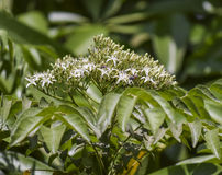 Nimb-Baumblumen und Honigbienen lizenzfreie stockbilder