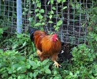 Nimbin鸡 库存照片