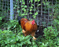 Nimbin Chicken Stock Photo