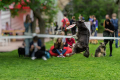 Nimble, funny and gambling dog in grass at summer park during catching a frisbee disc, jump moment. Happiness in energy Royalty Free Stock Images