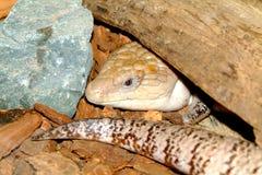 Nimble lizard Stock Images