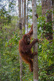 Nimble orangutan climbing a tree closer to the sky in the jungles of Indonesia Stock Photos