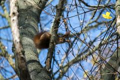 Nimble red squirrel climbed high on a tree and looked down Royalty Free Stock Image