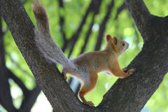 Nimble squirrel Royalty Free Stock Images