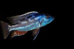 Nimbochromis fuscotaeniatus Royalty Free Stock Photo
