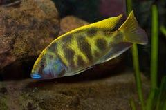 Nimbochromis venustus in a fishtank Royalty Free Stock Photos