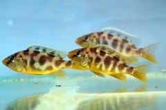 Nimbochromis venustus (Venustus Hap). Freshwater aquarium fish Royalty Free Stock Photo