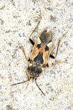 Nimf van het Insect van Rhyparochromus vulgaris/Ware Royalty-vrije Stock Foto's