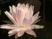"""Nimphaea """"Gloir du Temple-sur-Lot"""". Nimphea """"Gloir du Temple-sur-Lot"""", pale rose pink flower, waterlily. Nice pond waterplant, small size Stock Photos"""