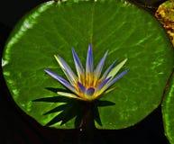 Nimpheas woda - zasadzeni kwiaty fotografia royalty free