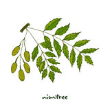 Nimtree, medicinal plant. Illustration Royalty Free Stock Image