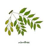 Nimtree medicinalväxt Stock Illustrationer