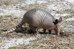 Nine banded armadillo. A young nine banded armadillo looking for food Royalty Free Stock Photos