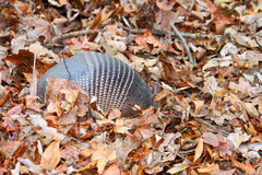 Nine-banded Armadillo (Dasypus novemcinctus) Royalty Free Stock Images