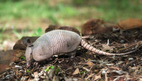 Nine-banded armadillo Dasypus novemcinctus. Juvenile Nine-banded Armadillo Dasypus novemcinctus digging for food in the garden Royalty Free Stock Image