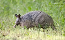 Nine banded armadillo, Dasypus novemcinctus, Monroe GA USA. Nine banded armadillo photographed in spring in Monroe, Walton County, Georgia, USA. The nine-banded stock images
