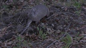 Nine-banded armadillo feeding stock video footage