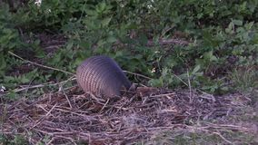 Nine-banded armadillo feeding stock video footage