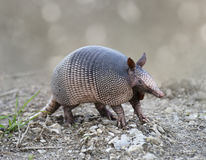 Nine-banded Armadillo Stock Photography
