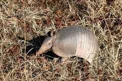 Nine-banded Armadillo in Grass. A nine-banded armadillo standing the the brown grass of winter royalty free stock images
