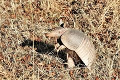Nine-banded Armadillo Standing on Back Legs. A nine-banded armadillo standing on it`s back legs, with front legs in the air. The hairy underbelly showing as well royalty free stock image