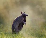 Nine-banded armadillo. At sunset Royalty Free Stock Photo