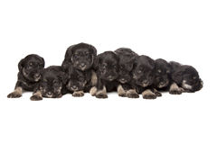 Nine black puppies of Miniature Schnauzer Stock Images