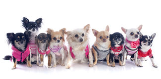 Nine chihuahuas Royalty Free Stock Images