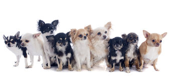 Nine chihuahuas Stock Image